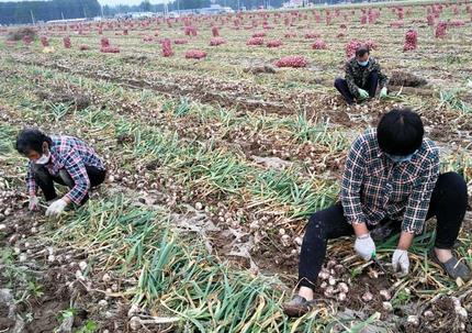 你认为挖一亩地大蒜800元钱合理吗?你们那边多少钱呢?