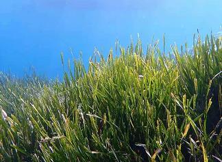 海草也受噪音污染的影响